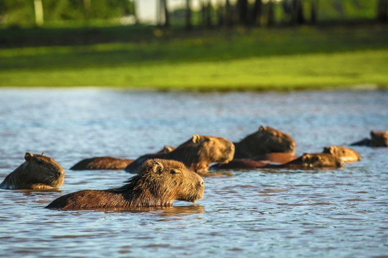 Capybara - Corocora Wildlife Camp in Colombia