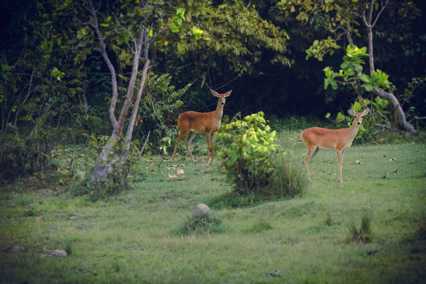 Deer - Corocora Wildlife Camp